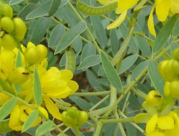 Senna thee: een nuttige plant voor de huid en de darmen