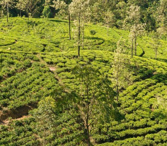 Alles wat je moet weten over Darjeeling thee